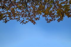 Maple tree leafs on blue sky stock images