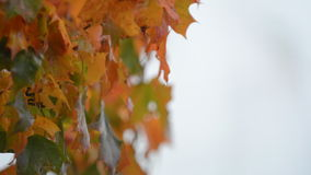 Maple tree leafs changing  color during autumn stock video
