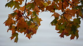 Maple tree leafs changing  color during autumn stock video footage