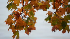 Maple tree leafs changing  color during autumn stock footage