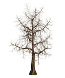 Maple tree without leafs Stock Photo