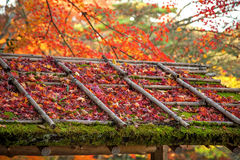 Maple tree leafs. Over temple roof in Kyoto, Japan Royalty Free Stock Photo