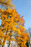 Maple tree leafs in warm autumn colors Royalty Free Stock Photography
