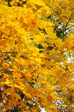 Maple tree leafs in warm autumn colors Stock Images