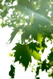 Maple tree leaves. In sun rays Royalty Free Stock Image