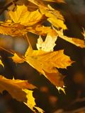Maple tree leaves. Against dark background; fall sign Stock Photo