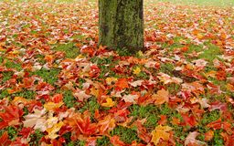 Maple tree and leaves Royalty Free Stock Photography