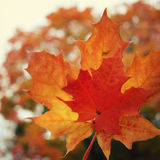 Maple tree leaves. Acer. Autumn on Valaam island. Maple tree leaves. Autumn on Valaam island. Aged photo. Red Acer leaf. Text frame with copy space. Retro royalty free stock image