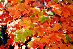 Maple tree leaves in automn Royalty Free Stock Images