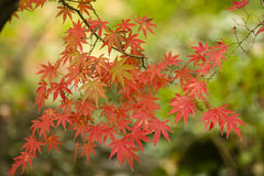 Maple tree leaves in Autumn Stock Photos