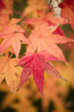 Maple tree leaves in Autumn Royalty Free Stock Image