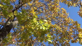 Maple tree leaves autumn. Big old broad leaf maple tree with yellow autumn leaves flickering in the sun on October 05, 2013 in Birzai, Lithuania stock video
