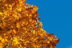 Maple tree leaves Stock Photos