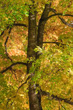 Maple tree leaves. Maple tree in autumn forest Royalty Free Stock Photo