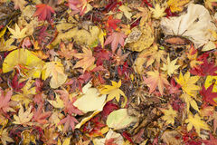Maple tree leaves in autumn Stock Image