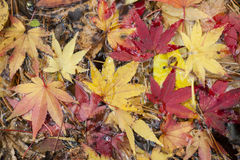 Maple tree leaves in autumn Stock Photography