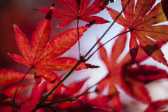 Maple tree leaves in autumn Royalty Free Stock Photos