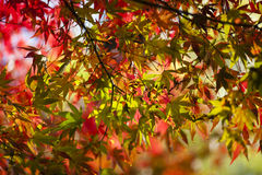 Maple tree leaves in autumn Stock Photo