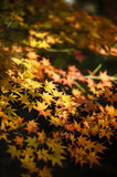 Maple tree leaves in autumn Royalty Free Stock Images