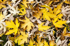 Maple tree leaves in autumn Royalty Free Stock Photo