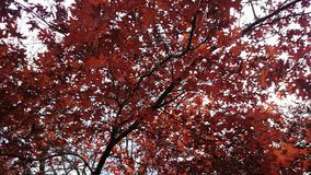 Maple Tree Leaves Autumn Royalty Free Stock Photos