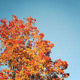 Maple tree leaves. Autumn on Valaam island. Frame. Stock Photography