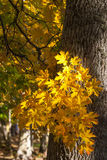 Maple tree leaves. Maple tree in autumn woods Royalty Free Stock Photography