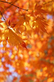 Maple tree leaves back lit by sunlight. Autumn leaves on a bright sunny bokeh background Royalty Free Stock Photography