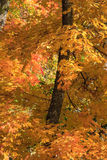 Maple tree leaves. Maple tree branch in autumn Royalty Free Stock Photography