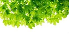 Maple tree leaves branches isolated. On white royalty free stock image
