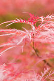 Maple tree leaves. Close up of red japanese maple tree Stock Images