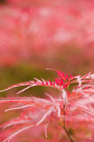 Maple tree leaves. Close up of red japanese maple tree Royalty Free Stock Photography