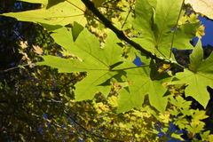 Maple tree leaves. Colorful Maple trees glowing on a sunny day Stock Images