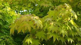 Maple tree with leaves. In garden stock video