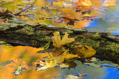 Maple tree leaves. Maple tree leaf floating in the water Royalty Free Stock Photography