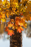 Maple tree leaves. Maple tree leafs in autumn Stock Photography