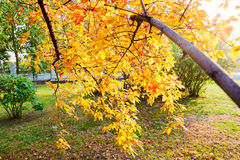 The maple tree leaves. The photo was taken in Tieren square Daqing city Heilongjiang province,China Stock Photos