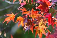 Maple tree leaves Stock Photo