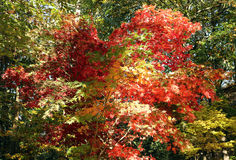 Maple Tree Leaves. Red, Yellow and Green leaves of a maple tree Royalty Free Stock Image