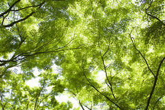 Maple tree leaves at spring Royalty Free Stock Photos