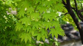 Maple tree with leaves stock video