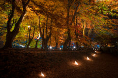 Maple tree in the lighting festival at Nashi Gawa Royalty Free Stock Photo