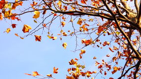 Maple tree from low angle, pan move stock footage