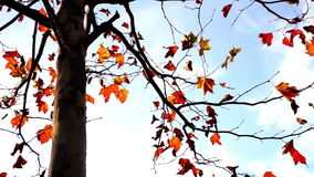 Maple tree from low angle, pan move. November stock video footage