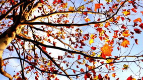 Maple tree from low angle, pan move stock video