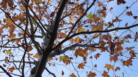 Maple tree from low angle, pan move stock video footage