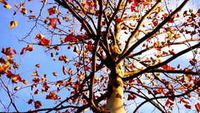 Maple tree from low angle, rotation. November stock footage
