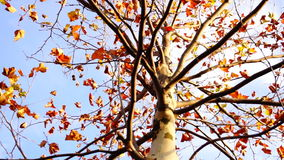 Maple tree from low angle, rotation. November stock video footage