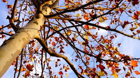 Maple tree from low angle, rotation. Maple tree from low angle, pan move, november stock footage