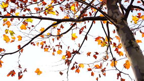 Maple tree from low angle, rotation from tripod. Maple tree from low angle, pan move, november stock video footage